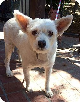 Terrier (Unknown Type, Medium) Mix Dog for adoption in Chico, California - Claudia