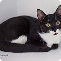 Adopt A Pet :: Gumball - Merrifield, VA