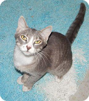 Domestic Shorthair Cat for adoption in Plano, Texas - ALDO - AMAZING SWEET BOY!