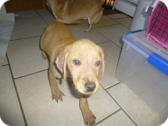 Labrador Retriever Mix Puppy for adoption in Glastonbury, Connecticut - Crinna