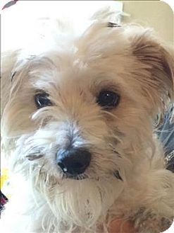Terrier (Unknown Type, Small)/Havanese Mix Dog for adoption in Encino, California - Millie