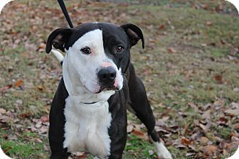 American Staffordshire Terrier Mix Dog for adoption in Conway, Arkansas - Po