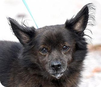 Pomeranian/Spitz (Unknown Type, Small) Mix Dog for adoption in New Haven, Connecticut - RUSSELL