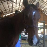 Adopt A Pet :: Sassfras (Horse) - Freeport, FL