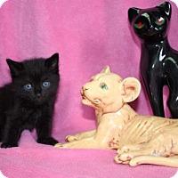 Domestic Mediumhair Kitten for adoption in Foster, Rhode Island - Mario