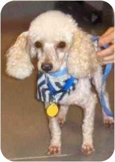 Toy Poodle Dog for adoption in Melbourne, Florida - NEWTON