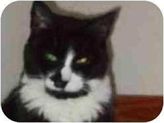 Domestic Shorthair Cat for adoption in Pasadena, California - Leah