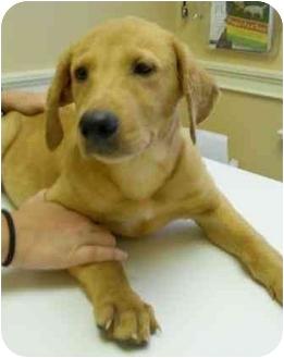 Labrador Retriever/Golden Retriever Mix Puppy for adoption in Cumming, Georgia - Milly