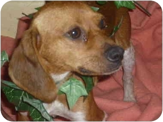 Beagle/Terrier (Unknown Type, Small) Mix Dog for adoption in Cherry Hill, New Jersey - Fajita