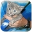 Photo 1 - Russian Blue Kitten for adoption in Tracy, California - Barbara