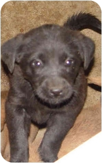 Labrador Retriever/Chow Chow Mix Puppy for adoption in Boonton, New Jersey - SARINA