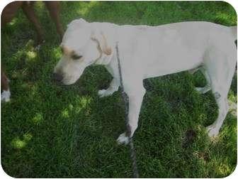 Labrador Retriever Dog for adoption in Columbus, Nebraska - Tanner