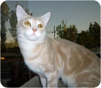 Domestic Shorthair Cat for adoption in San Diego, California - Benny