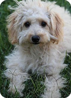 Maltese/Poodle (Miniature) Mix Puppy for adoption in Yuba City, California - Maddy