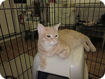 Domestic Shorthair Kitten for adoption in Speonk, New York - Avery