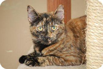 Calico Cat for adoption in Trevose, Pennsylvania - Taz