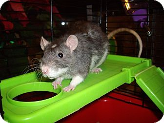 Rat for adoption in Greenwood, Michigan - Basil