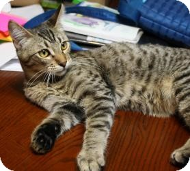 Domestic Mediumhair Cat for adoption in Mission Viejo, California - Kiki