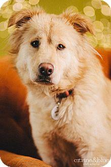 Golden Retriever Mix Dog for adoption in Portland, Oregon - Goldie Hawn