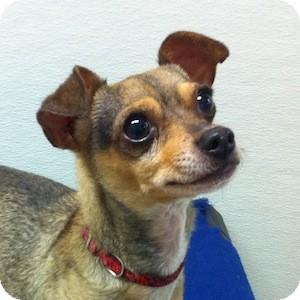 Chihuahua Mix Dog for adoption in Gilbert, Arizona - Harvey