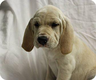 Hound (Unknown Type)/Shepherd (Unknown Type) Mix Puppy for adoption in Woodlyn, Pennsylvania - Garth
