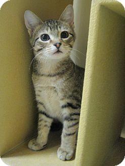 Domestic Shorthair Kitten for adoption in Rochester, Minnesota - Skooter