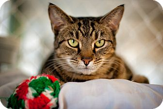 Domestic Shorthair Cat for adoption in Freeport, New York - Dixie