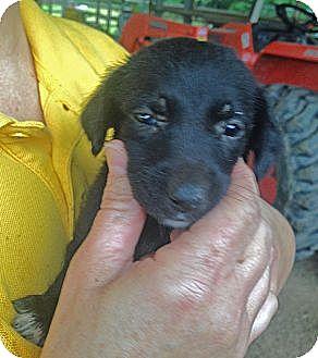 Labrador Retriever Mix Puppy for adoption in Preston, Connecticut - Sue