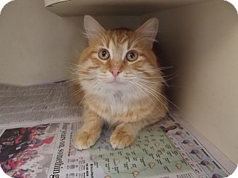 Domestic Longhair Cat for adoption in Marshall, Texas - Tiger