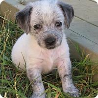 Adopt A Pet :: Pepper - Torrance, CA