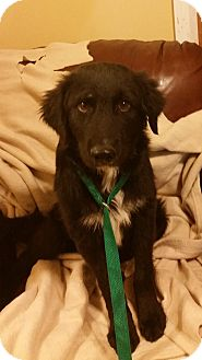 Flat-Coated Retriever Mix Puppy for adoption in Laingsburg, Michigan - Beck