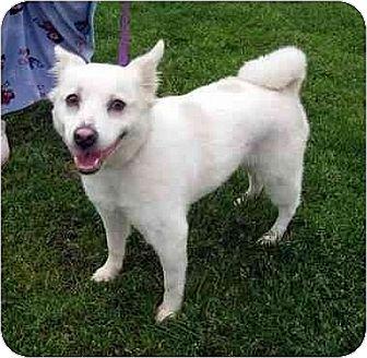 American Eskimo Dog/Spitz (Unknown Type, Medium) Mix Dog for adoption in Downey, California - Trixie
