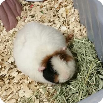 Guinea Pig for adoption in Albion, New York - Ralphie