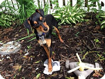 Chihuahua/Miniature Pinscher Mix Dog for adoption in Westwood, New Jersey - Cricket