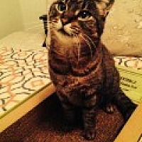 Domestic Shorthair Cat for adoption in Bryn Mawr, Pennsylvania - Abby/lap cat/loves to be brush
