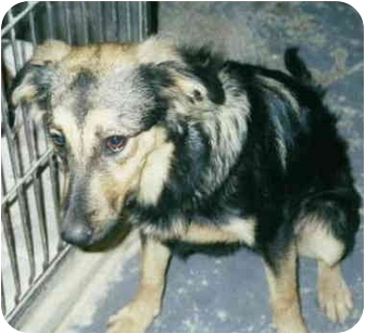 German Shepherd Dog/Sheltie, Shetland Sheepdog Mix Dog for adoption in Chicago, Illinois - Sheeba