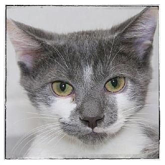 Domestic Shorthair Kitten for adoption in Salem, Massachusetts - Chad