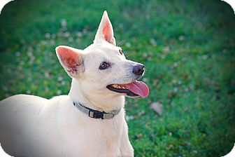 Australian Cattle Dog/German Shepherd Dog Mix Dog for adoption in Wichita, Kansas - Jasmine
