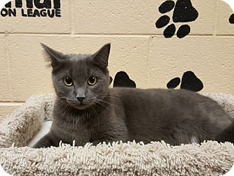 Domestic Shorthair Cat for adoption in Smithfield, North Carolina - Scout