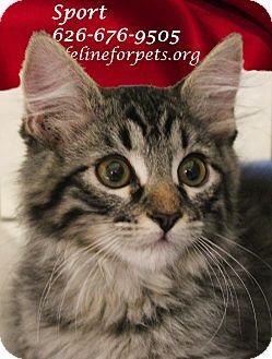 Domestic Mediumhair Kitten for adoption in Monrovia, California - A Kitten Boy: SPORT
