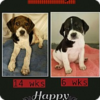 Adopt A Pet :: Savy in CT - Manchester, CT