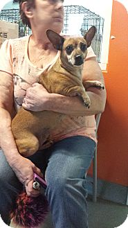 Chihuahua/Miniature Pinscher Mix Dog for adoption in Westminster, California - Hobbs
