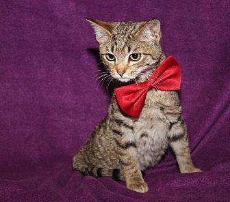 Domestic Shorthair Cat for adoption in Marietta, Ohio - Levi (Neutered)