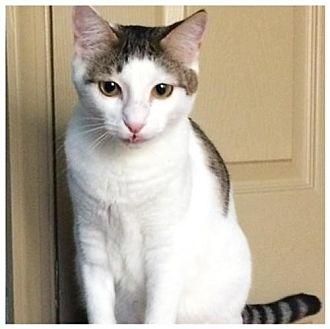Domestic Shorthair Kitten for adoption in Royal Palm Beach, Florida - Malibu