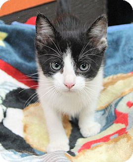Domestic Shorthair Kitten for adoption in Benbrook, Texas - Jimmy