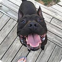 Adopt A Pet :: Puma - Troy, MI