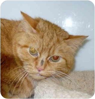 Domestic Mediumhair Cat for adoption in Colmar, Pennsylvania - Juni