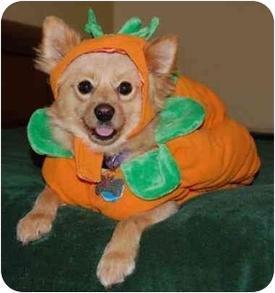 Pomeranian Dog for adoption in Inman, South Carolina - Max