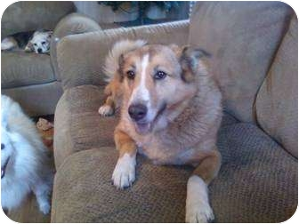 Collie Dog for adoption in Bloomsburg, Pennsylvania - Dale