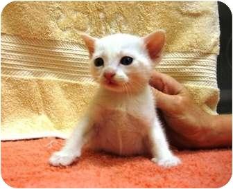 Siamese Kitten for adoption in Houston, Texas - Tai